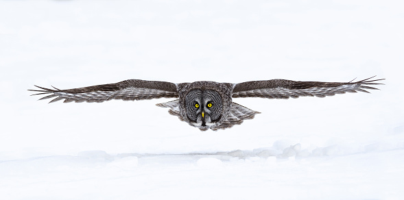 Animal Wildlife「Great gray owl, strix nebulosa, rare bird in flight」:スマホ壁紙(9)