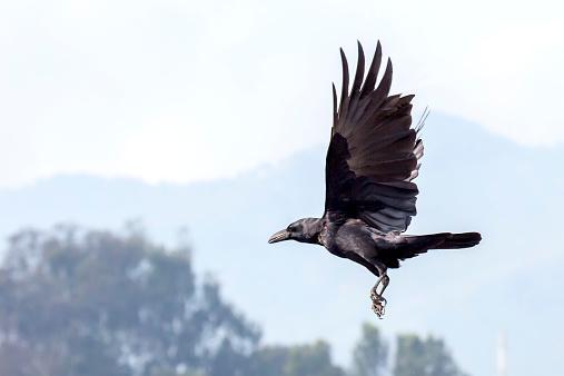 Flapping Wings「Crow  flying」:スマホ壁紙(9)