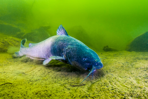 Catfish「A blue catfish swimming along the bottom of a quarry in Kansas.」:スマホ壁紙(16)