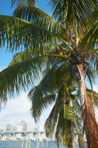 Frond「Palm tree and skyline of Miami, Florida」:スマホ壁紙(14)