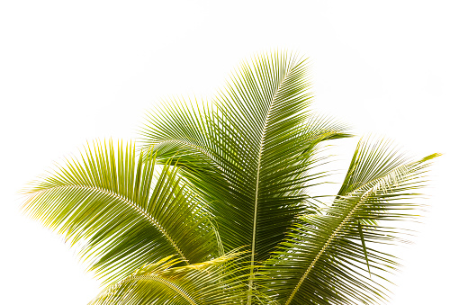 Branch - Plant Part「Palm tree against white background with copy space」:スマホ壁紙(19)