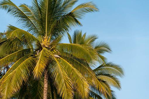Sayulita「Palm tree against a blue sky; sayulita mexico」:スマホ壁紙(6)