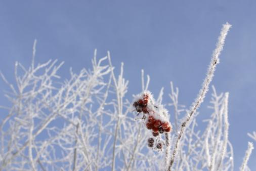 Rowanberry「Frost on rowan berry tree」:スマホ壁紙(5)