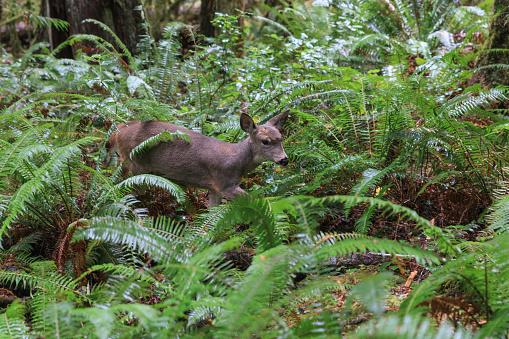 オリンピック雨林「Mule deer in Olympic rain forest」:スマホ壁紙(1)