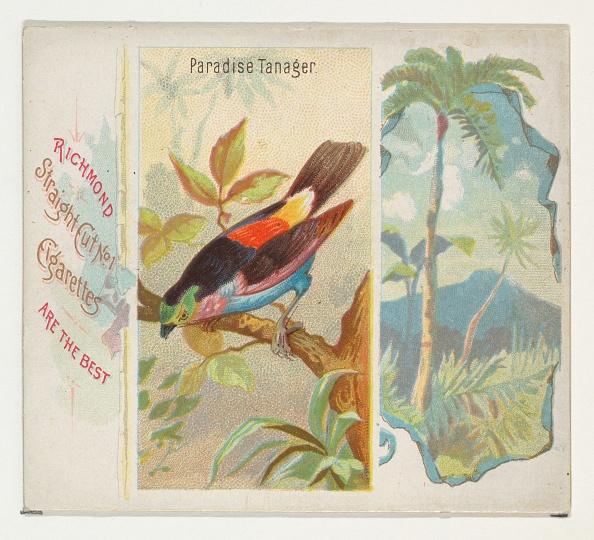 Songbird「Paradise Tanager」:写真・画像(1)[壁紙.com]