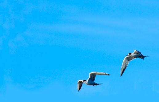 Flapping Wings「A Pair of Common Terns (Sterba hirundo) Flying Side By Side」:スマホ壁紙(15)