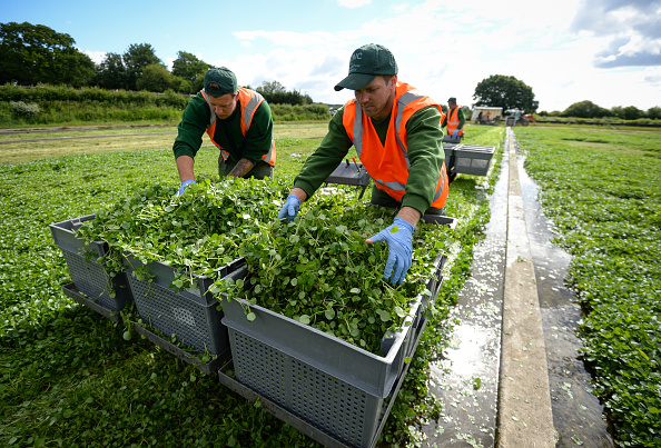 Crop - Plant「Furloughed British Workers Help With The Watercress Harvest」:写真・画像(17)[壁紙.com]