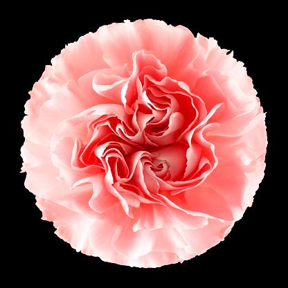 カーネーション「Flower carnation 01」:スマホ壁紙(18)