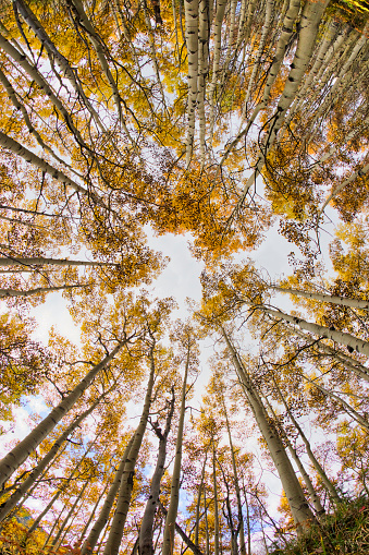 Uncompahgre National Forest「Fisheye view looking upward through autumn aspen trees」:スマホ壁紙(18)