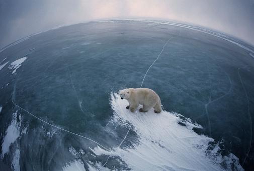 Polar Bear「A fish-eye view of a Polar Bear.」:スマホ壁紙(4)