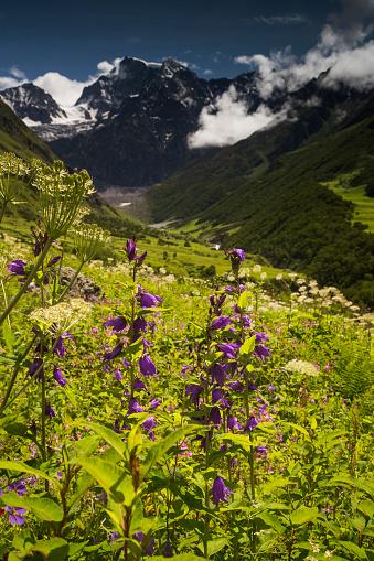 Himalayas「Campanula latifolia, Large Bellflower growing in the Valley of Flowers in the Himalayas」:スマホ壁紙(9)