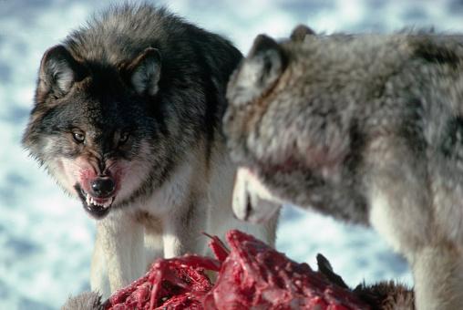 Animals Hunting「Alpha Wolf Asserting His Position」:スマホ壁紙(12)