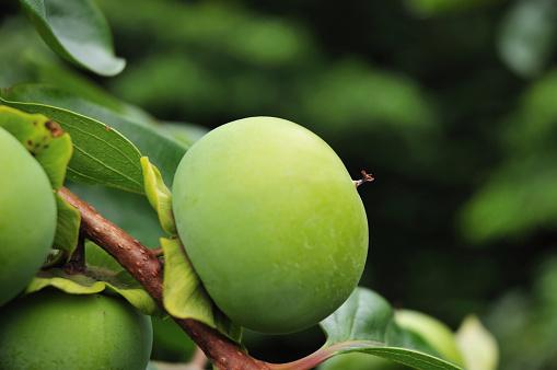 柿「Unripe Persimmon」:スマホ壁紙(3)
