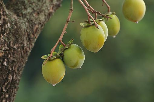 柿「Unripe persimmons on branches, Chiba Prefecture, Honshu, Japan」:スマホ壁紙(16)