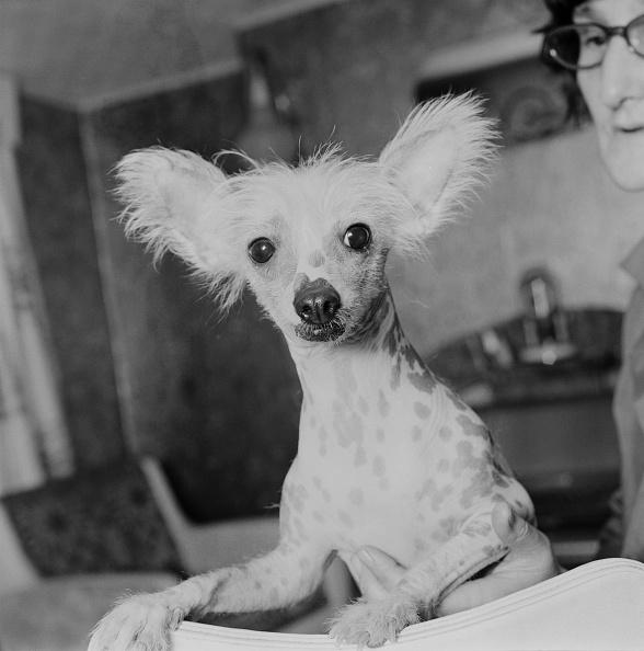 Animal Body Part「Chinese Crested Dog」:写真・画像(18)[壁紙.com]