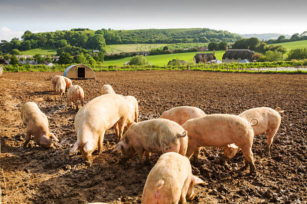 Organic Middle white pigs at Washingpool farm in Bridport, Dorset. The Farm rears livestock and grows food and vegetables for sale in their farmshop, cutting down on food miles.:スマホ壁紙(壁紙.com)