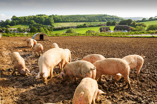 Foraging「Organic Middle white pigs at Washingpool farm in Bridport, Dorset. The Farm rears livestock and grows food and vegetables for sale in their farmshop, cutting down on food miles.」:スマホ壁紙(0)