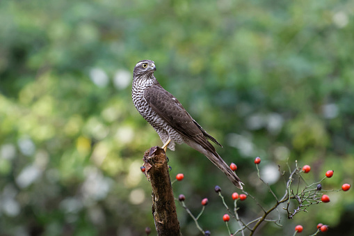Hawk - Bird「Sparrowhawk (Accipiter nisus)」:スマホ壁紙(19)