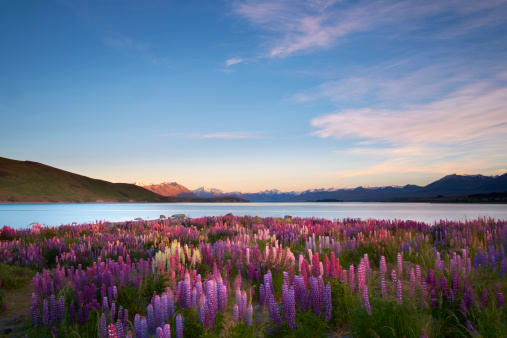 New Zealand「Lupins Of Lake Tekapo」:スマホ壁紙(12)