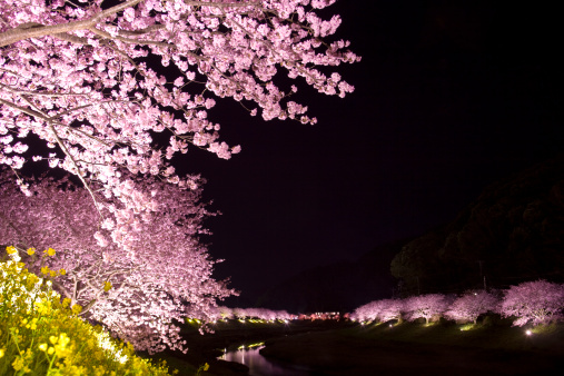 夜桜「Illuminated Cherry Blossom Trees」:スマホ壁紙(10)