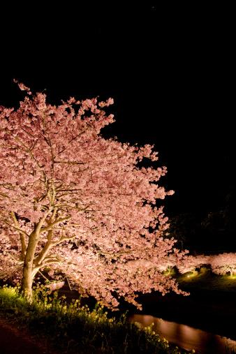 Cherry trees at evening「Illuminated Cherry Blossom Trees」:スマホ壁紙(18)