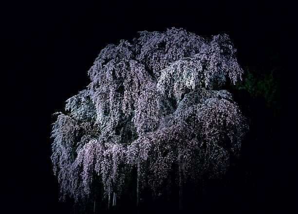 Illuminated Cherry Blossoms:スマホ壁紙(壁紙.com)