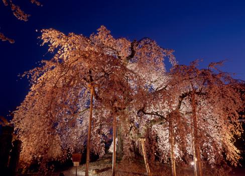 夜桜「Illuminated Cherry Blossoms, Iida, Nagano, Japan」:スマホ壁紙(6)