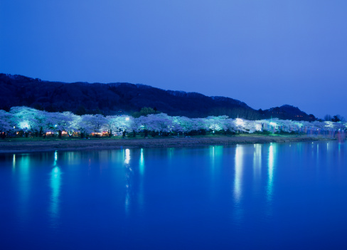 夜桜「Illuminated Cherry Blossoms at Kitakami Tenshochi, Kitakami, Iwate, Japan」:スマホ壁紙(10)