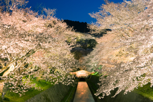 夜桜「Illuminated Cherry Blossoms at Lake Biwa Canal, Otsu, Shiga, Japan」:スマホ壁紙(9)