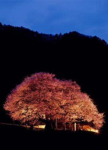夜桜「Illuminated Cherry Blossoms, Takayama, Kamitakai, Nagano, Japan」:スマホ壁紙(12)