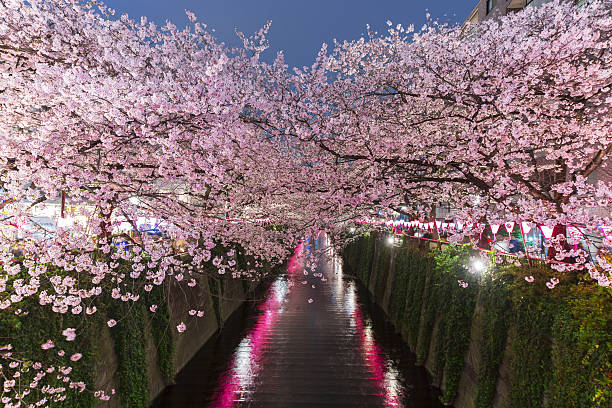 Illuminated Cherry blossoms trees at Meguro River.:スマホ壁紙(壁紙.com)
