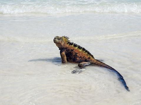Dragon「Iguana Walking On Tortuga Bay Beach」:スマホ壁紙(16)