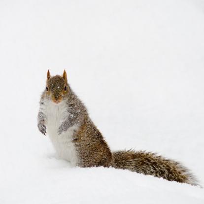 Squirrel「USA, New York, New York City, squirrel on snow」:スマホ壁紙(12)