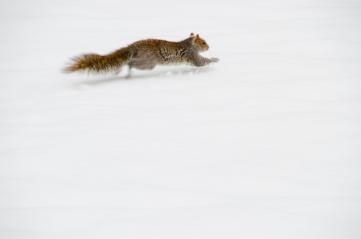 リス「USA, New York, New York City, squirrel running on snow」:スマホ壁紙(19)