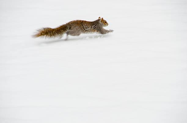 USA, New York, New York City, squirrel running on snow:スマホ壁紙(壁紙.com)