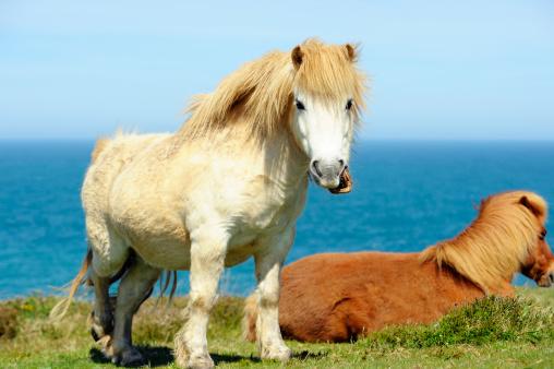 Horse「Wild Shetland Ponys」:スマホ壁紙(2)