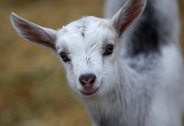 Goat「Dairy Goat Herds Surge Over The Last Decade In The U.S.」:写真・画像(8)[壁紙.com]