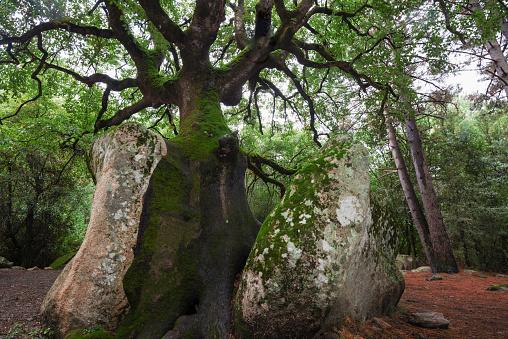 オーク林「Oak tree grows over stone, Corsica, France」:スマホ壁紙(11)