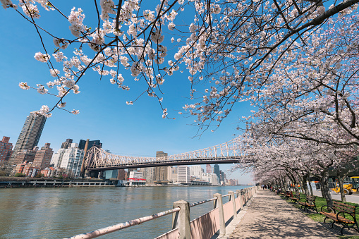 flower「People walk down the promenade, which is under the rows of Cherry blossoms trees at Roosevelt Island New York on 2017. Midtown Manhattan skyscrapers and Queensboro Bridge can be seen beyond the East River.」:スマホ壁紙(1)