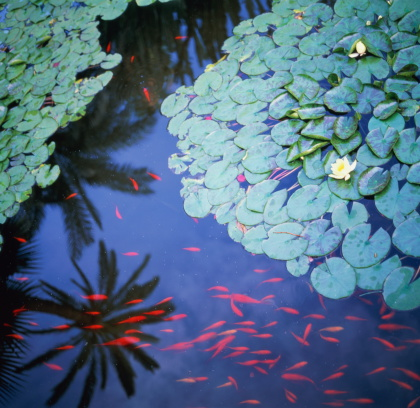 Water Lily「Pond with water lilies (Nymphaea) and carp (Cyprinus carpio), Morocco」:スマホ壁紙(4)