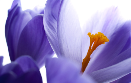 Pistil「Close-up abstract view of a purple crocus in bloom」:スマホ壁紙(13)