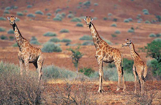 Giraffes (Giraffa camelopardalis) Damaraland, Namibia, Africa:スマホ壁紙(壁紙.com)