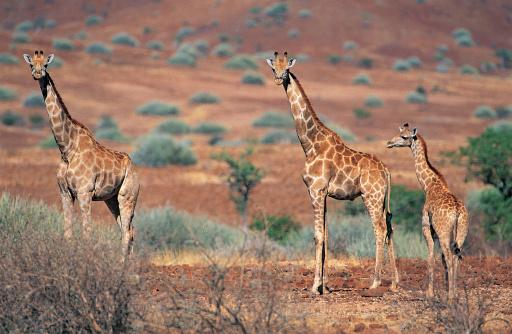 Giraffe「Giraffes (Giraffa camelopardalis) Damaraland, Namibia, Africa」:スマホ壁紙(6)