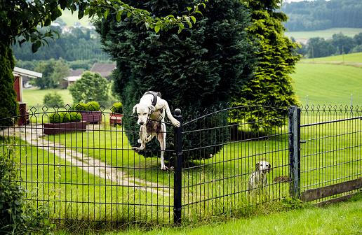 Pointer - Dog「Dog climbing over fence」:スマホ壁紙(6)