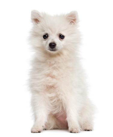 ふわふわ「German Spitz puppy sitting」:スマホ壁紙(14)