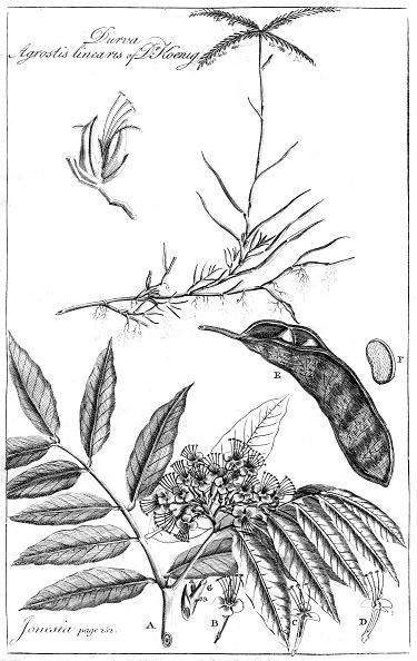 Plant Pod「'Durva Agrostis Linearis of Dr Koenig', 1799.」:写真・画像(16)[壁紙.com]