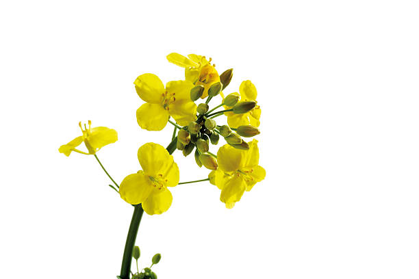 Rape bloom, (Brassica napus), close-up:スマホ壁紙(壁紙.com)