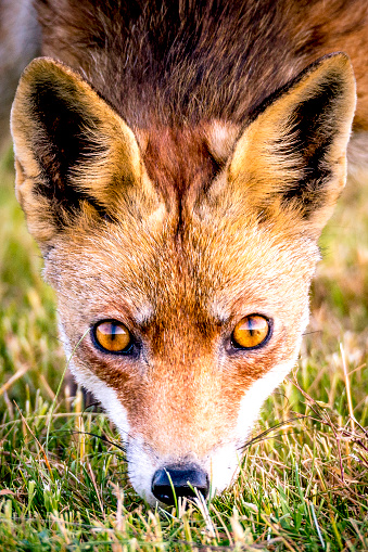 Animal Eye「Red fox walking and looking into the camera from a field」:スマホ壁紙(3)