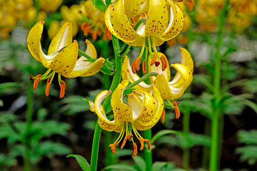 Keukenhof Gardens「lilies at Keukenhof Gardens, Holland」:スマホ壁紙(0)