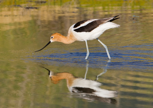 The Nature Conservancy「American Avocet in Great Salt Lake Shorelands Preserve」:スマホ壁紙(9)